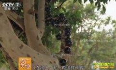 [农广天地]福建南靖县刘阳鹏种植树葡萄不靠果儿赚钱