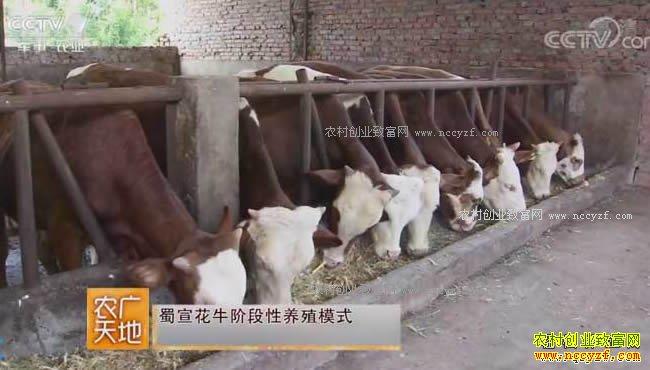 [农广天地]蜀宣花牛分段养 20170912