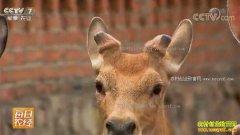 [每日农经]胆小的梅花鹿一身宝