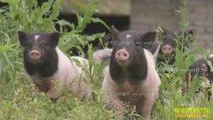 [致富经]彭建军养乌鸡、聂玲利养香猪致富视频