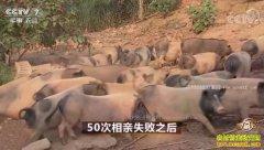 [致富经]湖南桃江高静波50次相亲失败后养香猪赚百万财富