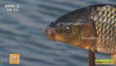 [每日农经]水中财富的秘密:成名的黄河鲤鱼不一般