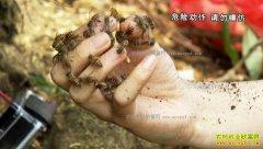 [致富经]蜂狂的财富:浙江瑞金钟华胡蜂养殖致富经