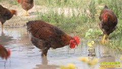 [致富经]黑龙江陈红麟养殖肉鸡加工鸡粪肥料创造千万财富