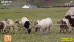 [每日农经]西藏贡觉阿旺羊带来的财富