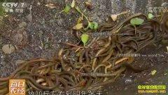 [每日农经]湖南邵阳张桃红养黄鳝 吃住都好的黄鳝卖得快