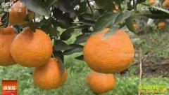 [科技苑]四川蒲江:过冬的晚熟柑橘卖价高