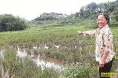 四川泸州伏龙村:稻田养鸭效益好成农民致富好项目