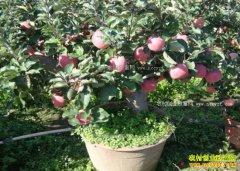 辽宁辽中县李晓春种苹果一年四季有鲜果
