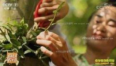 [每日农经]贵州从江县:种在树上的石斛有点厉害