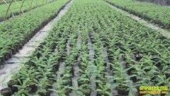 安徽肥西县大学生村官孔维玲种苗木助农走上致富路