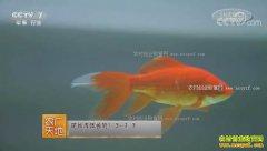 [农广天地]草金鱼池塘繁殖技术视频