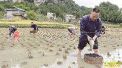 四川古蔺龙升村:稻田养鱼成农民致富好项目