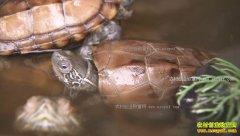 [致富经]广东广州沈文昌黑泥塘里养草龟年销六千万