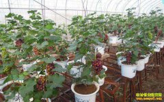 山东平度:大棚种植盆景葡萄一亩地收益30万元