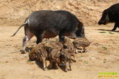 陕西杨凌刘向阳养殖特种野猪年收入320万