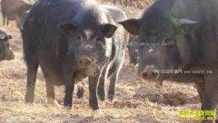 [致富经]内蒙古赤峰王晓凤窑洞里养殖藏香猪的狂野财富