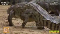 [每日农经]广东高州:养殖鳄鱼这样换来财富