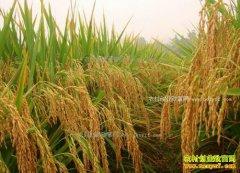 2017年重庆新稻米价格高开低走