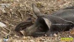 [每日农经]黑龙江七台河:自在的猪能多卖钱
