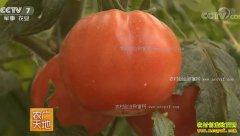 [农广天地]日光温室黄瓜番茄精量化施肥技术