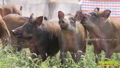 [致富经]河南渑池毛容养野猪单飞把钱赚