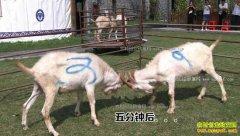[致富经]江苏南通杨国宏养羊三年三招发羊财