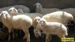 羊肉价格上涨  今年养羊赚钱吗