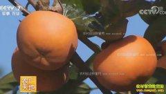[农广天地]山西临猗县张晋泉种植甜柿子发甜财