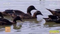 [每日农经]江苏盐城:黑羽番鸭飞出了身价