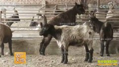 [农广天地]太行山羊养殖技术视频