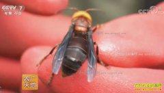"""[农广天地]""""杀人蜂""""驯养记:向自伍养殖胡蜂技术视频"""
