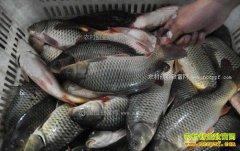淡水鱼价格整体平稳 2018年春节前后鱼价格行情预测