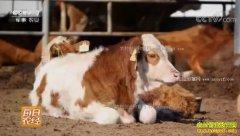 [每日农经]山东惠民:架子牛爱运动 这样养牛效益高