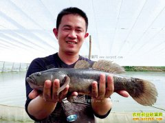 广东东莞萧劲松五万起家养殖笋壳鱼七年销售额超两千万