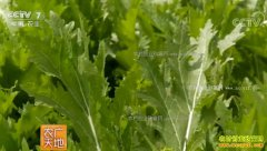 [农广天地]雪菜的腌制与加工技术视频