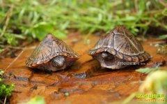 安徽天长张金华庭院养乌龟效益好