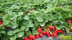 安徽界首市董长俊返乡创业种草莓收入稳步升