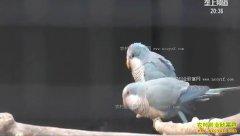 致富好榜样:湖北公安张鹏养殖鹦鹉论只卖最贵一只近两万