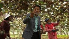 [致富经]十年一身债 陕西眉县齐峰种植猕猴桃一朝亿万财
