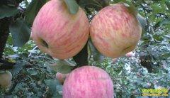 果农和客商如何应对苹果价格下滑