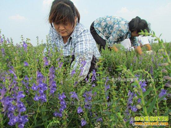 2018年种植什么中药材有前景好赚钱?黄芩