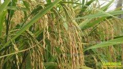 水稻价格低位震荡 分析师预测优质稻价格有上涨空间