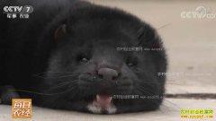 [每日农经]山东蓬莱:同时养两种水貂的秘密