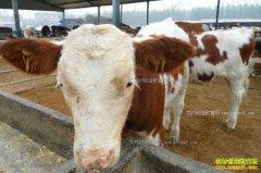 小规模肉牛养殖如何起步