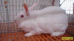 獭兔得了脚皮炎怎么办,用什么药治疗好?
