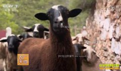 """[农广天地]斯南多桀养殖乌骨羊""""黑色""""羊肉的财富秘密"""
