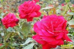 年底鲜切花市场火爆 玫瑰花价格普遍大涨