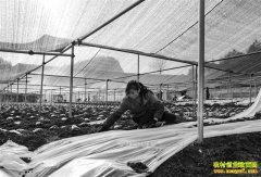 重庆黔江曾凡平种植羊肚菌60亩年入一百多万