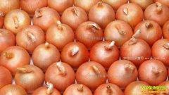 洋葱价格下跌 分析师:勿惜售 来年扩种洋葱需谨慎